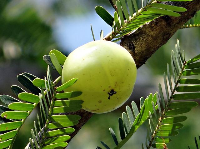 Amla Indian Gooseberry